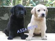 LABRADOR  Puppies  For Sale  ® 9911293906